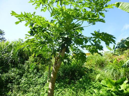 パパイヤの木