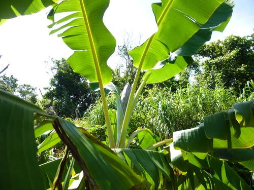 バナナの花芽